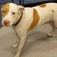 Adopt A Pet :: AnnaBelle - Stafford, VA
