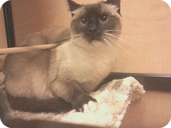 Siamese Cat for adoption in Los Angeles, California - Babushka