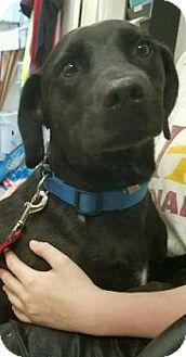 Labrador Retriever Mix Dog for adoption in Ottumwa, Iowa - Bobo