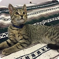 Adopt A Pet :: Edgar Kitten-Come See Me At The Blue Dog Pet Store - Harrisburg, PA