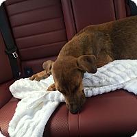Hound (Unknown Type)/Shepherd (Unknown Type) Mix Puppy for adoption in Naples, Florida - Marcus
