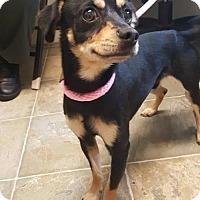Miniature Pinscher/Pug Mix Dog for adoption in Rathdrum, Idaho - Willy