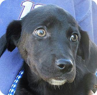Labrador Retriever/Pointer Mix Puppy for adoption in Germantown, Maryland - Wakonda