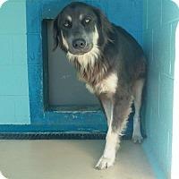 Adopt A Pet :: Dickey - Manteo, NC