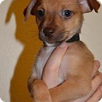 Adopt A Pet :: York,  8 week It Greyhound-terrier puppy - Arlington, WA
