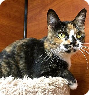 Domestic Shorthair Kitten for adoption in san diego, California - Mitzi