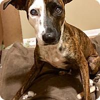 Adopt A Pet :: Carita - Sterling Heights, MI