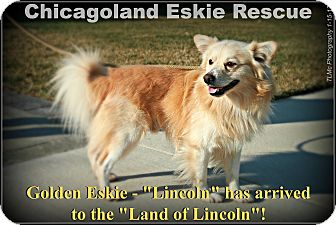 Golden Retriever/American Eskimo Dog Mix Dog for adoption in Elmhurst, Illinois - Lincoln
