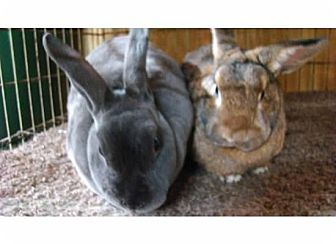 Rex Mix for adoption in Williston, Florida - Van Rex and Gloria Van der Bun