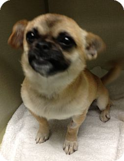 Pug/Chihuahua Mix Dog for adoption in Gainesville, Florida - Tangle