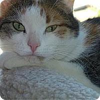 Adopt A Pet :: Darla  (Declaw) - bloomfield, NJ