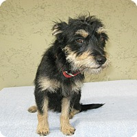 Adopt A Pet :: Scruffy - Bonita, CA