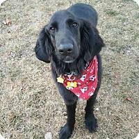 Adopt A Pet :: Eddie /TEDDIE - Denver, CO