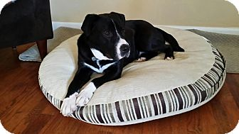 American Pit Bull Terrier/Labrador Retriever Mix Dog for adoption in Hanover, Pennsylvania - Buddy