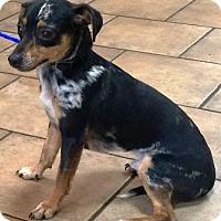 Adopt A Pet :: Skippy - Oswego, IL
