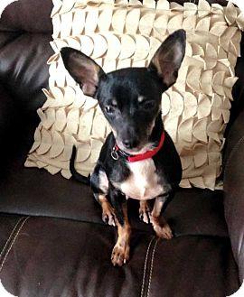 Chihuahua/Miniature Pinscher Mix Dog for adoption in Richmond, Kentucky - Buster
