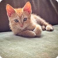 Adopt A Pet :: Braver - Arlington/Ft Worth, TX