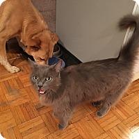 Domestic Mediumhair Cat for adoption in Menlo Pk, California - Lindy