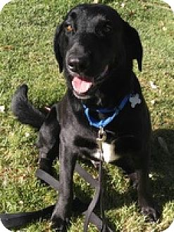 Labrador Retriever/Shepherd (Unknown Type) Mix Dog for adoption in Torrance, California - Tipper