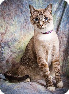 Siamese Cat for adoption in Anna, Illinois - SMOKEY