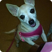 Chihuahua Dog for adoption in Dearborn, Michigan - CeCe