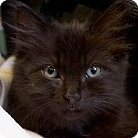 Domestic Mediumhair Kitten for adoption in Bethesda, Maryland - Aries