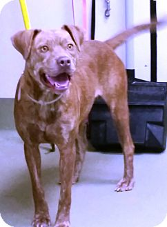 Catahoula Leopard Dog Mix Dog for adoption in Goodlettsville, Tennessee - Shiloh