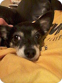 Chihuahua/Terrier (Unknown Type, Small) Mix Dog for adoption in Indianapolis, Indiana - Mercedes