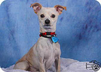 Chihuahua Mix Dog for adoption in Denver, Colorado - Bernie