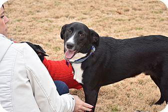 Labrador Retriever/Border Collie Mix Dog for adoption in Chicago, Illinois - Buddy