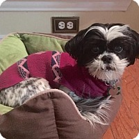 Adopt A Pet :: Kerry Washington 'Molly' - Euless, TX