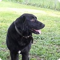 Labrador Retriever Mix Dog for adoption in Parma, Ohio - Missy