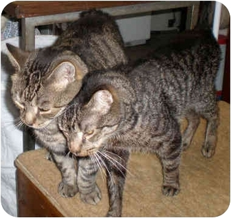 Domestic Shorthair Cat for adoption in Little Falls, New Jersey - Elvis & Sammy(DM)