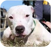 Pit Bull Terrier Dog for adoption in New Orleans, Louisiana - Kelly
