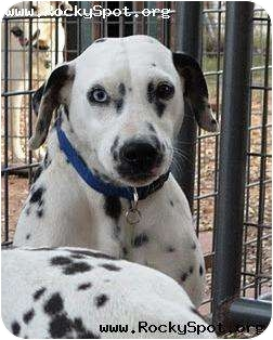 Dalmatian Dog for adoption in Newcastle, Oklahoma - Roxie