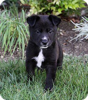 Golden Retriever/Labrador Retriever Mix Puppy for adoption in Newport Beach, California - FLINT