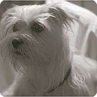 Shih Tzu/Yorkie, Yorkshire Terrier Mix Puppy for adoption in Davie, Florida - Winifred Mae