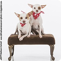 Adopt A Pet :: Darlene and Delilah - Puppies - Dallas, TX