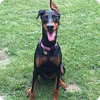 Adopt A Pet :: Layla - New Richmond, OH