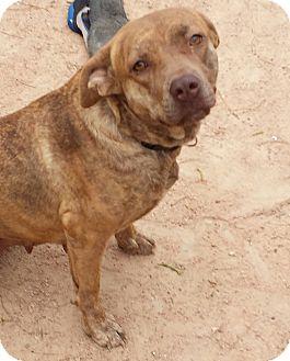 Redbone Coonhound/Catahoula Leopard Dog Mix Dog for adoption in Kingsland, Texas - Cinnamon