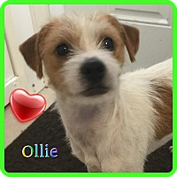 Adopt A Pet :: Ollie - Hollywood, FL
