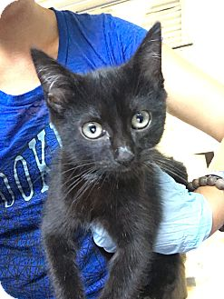 Domestic Shorthair Kitten for adoption in Covington, Kentucky - Candace