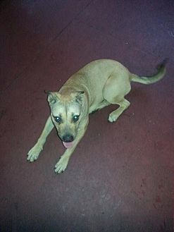 Black Mouth Cur Dog for adoption in Lake Placid, Florida - Mayan
