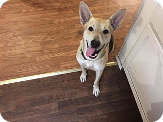 Carolina Dog Dog for adoption in Arlington, Texas - Zoe