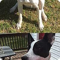 Adopt A Pet :: Calvin/Vinny - Chantilly, VA