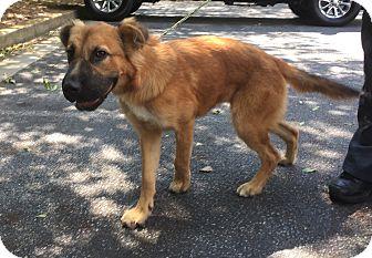 Golden Retriever/Shepherd (Unknown Type) Mix Puppy for adoption in Westport, Connecticut - Bailee