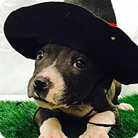 Adopt A Pet :: Ash - Trinidad, CO