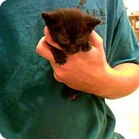 Domestic Mediumhair Cat for adoption in Conroe, Texas - TEDDY