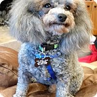 Adopt A Pet :: Hairy - West Linn, OR