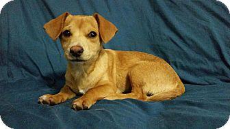 Chihuahua/Beagle Mix Puppy for adoption in Manchester, New Hampshire - Cornbread